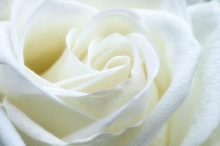 rose-1033202_960_720